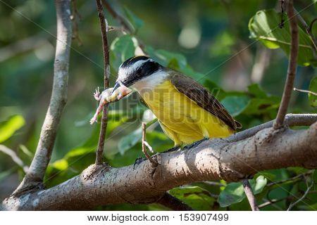 Lesser Kiskadee Eating Frog On Leafy Branch