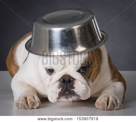 english bulldog with food dish on head on black background