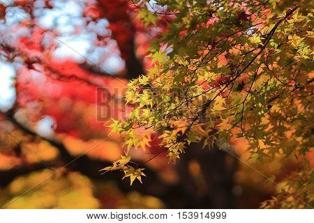 an Autumn Leaves Of Adashino Nenbutsu ji