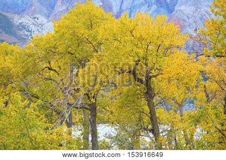 Cottonwood Tree leaves changing colors during autumn foliage taken at Convict Lake in the Sierra Nevada Mountains, CA