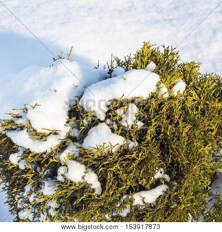 Ornamental dwarf form of the shrub of Western Thuja ( Thuja occidentalis ). Wintering shrub in Siberia