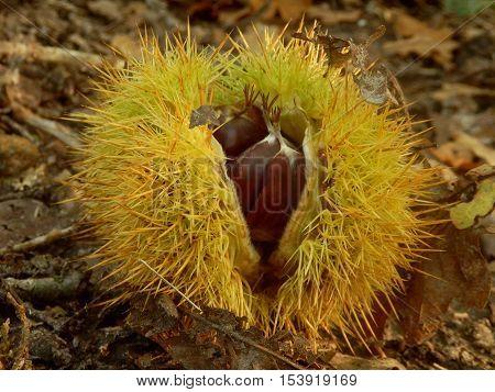 Sweet chestnut (Castanea saliva), bursting open on a woodland path