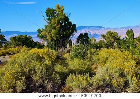 Sage Plant Flower Blossoms with Cottonwood Trees beyond taken in the Great Basin Desert