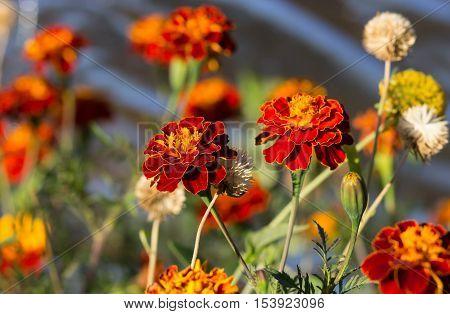 Tagetes erecta, Mexican marigold, Aztec marigold, African marigold
