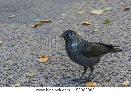 Omnivorous bird, pretty town crow in autumn