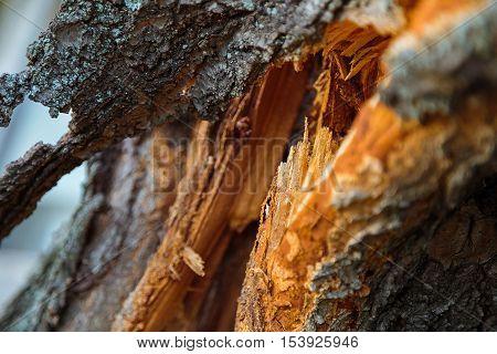 Broken tree in half old Zsolt color cracked bark