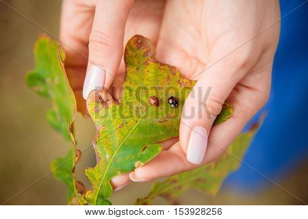 Female hands with yellowed oak leaf and two ladybirds. Autumn background