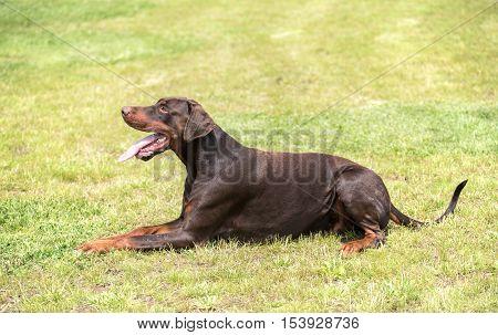 Doberman Pinscher Relaxing In The Field