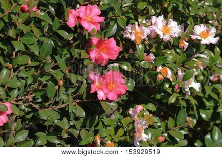 the plant of Camellia japonica at japan  2014