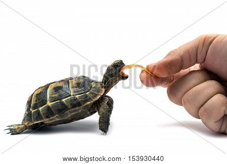 Turtle on a white background. Small reptile eating
