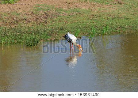 Indian marabou feeding in the shallow lake. Park Yala, Sri Lanka