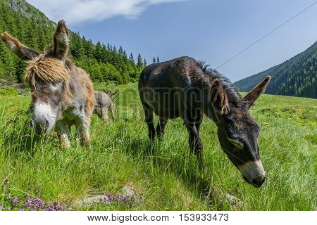 Two beautiful donkeys grazing in mountain meadow close up portrait.