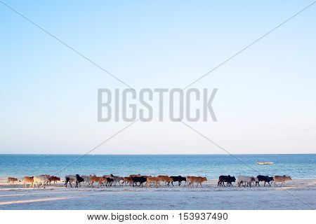Cows On Zanzibar Beach