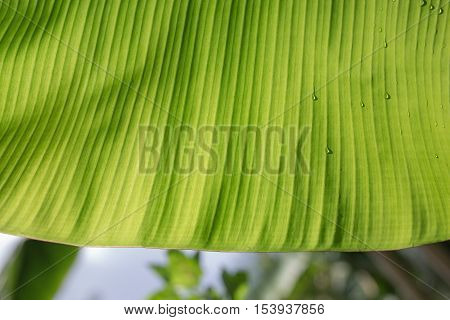 banana leaf background.banana leaf in Thailand. banana leaf
