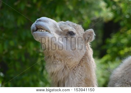 Camel making very silly faces with his mouth