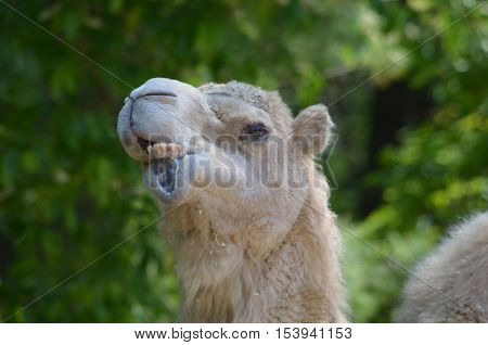 Camel making very silly faces by moving his lips.
