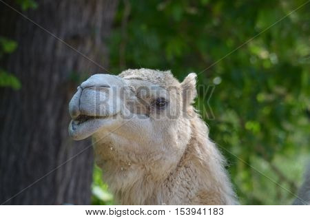 A desert camel with woods in the background.