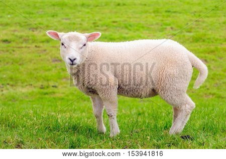 Closeup of a curiously looking little lamb posing in springtime.