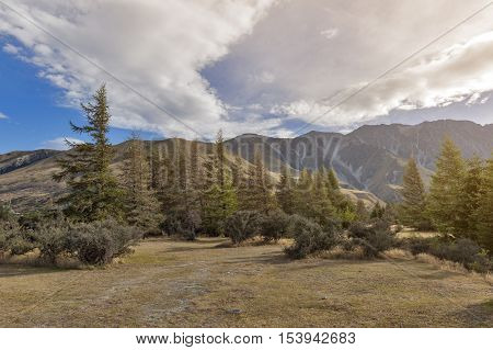 Pine Trees At Campsite In Glentanner Park Centre, Aoraki / Mount Cook National Park, Canterbury, New