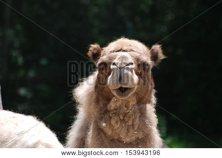 Sweet faced shaggy camel with trees in the background.