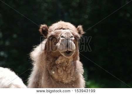 Shaggy furred camel with a very cute face.