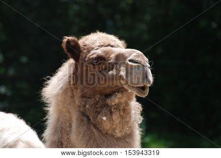 Dromedary camel with a very sweet face.