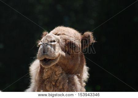 Posting camel standing against a black back drop.