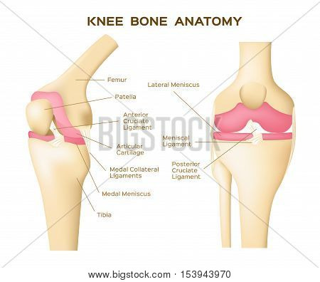 knee bone vector . anatomy . human knee infographic