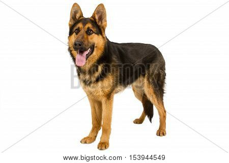 German Shepherd lying in front isolated on white background studio shot.