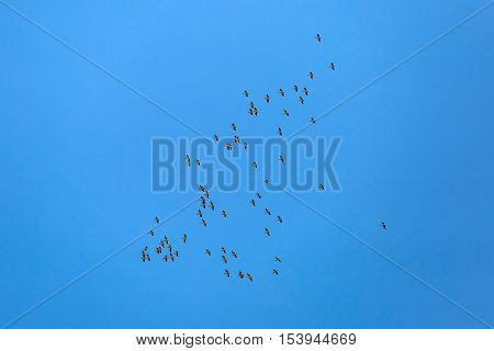 Landscape photo of flying white pelicans under the blue sky