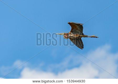 Photo of a flying beautiful purple heron