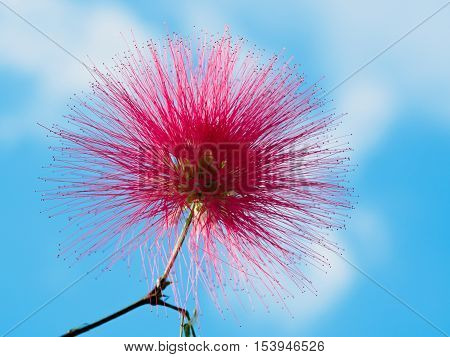 Mimosa Albizia julibrissin foliage and flowers isolated on blue sky background