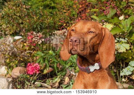 Hungarian hound. Dog look into the lens. Portrait of a Hungarian Vizla. Dog's eyes. Sunny day on the hunt.