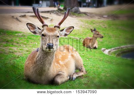 Resident sika deer in the city of Nara, Japan. The deer are considered scared and have been allowed to roam free in the city for centuries.