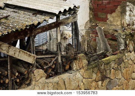 White dog perched on a woodshed, an old house in Buitrago de Lozoya. Madrid. Spain