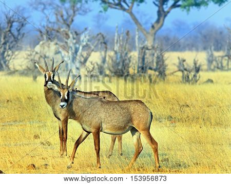 Two Large Roan Antelope standing on the dry yellow plains in Hwange National Park - Zimbabwe