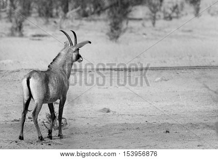 Black & White image of a Roan Antelope in Hwange National Park - Zimbabwe