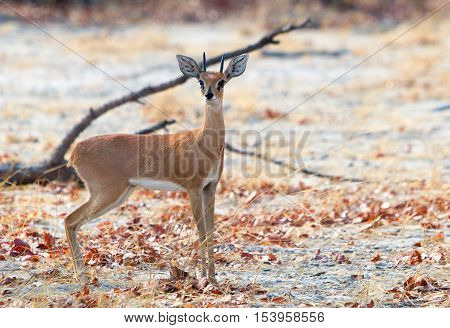 A small isolated steenbok stands looking directly ahead in Hwange National Park - Zimbabwe.  These are the favourite food of many carnivores in Africa