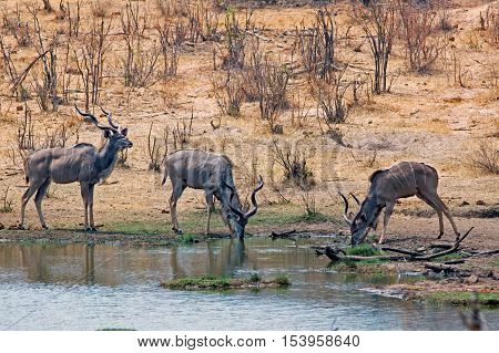 Bachelor herd of Kudu standing on the edge of a waterhole in a concession just outside Hwange national park - Zimbabwe