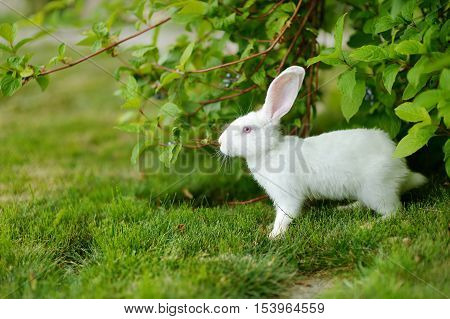 White Rabbit On A Green Grass