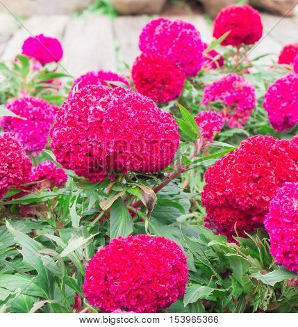 many blossoming (cockscomb) celosia red flowers with green leaves selective focus