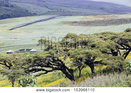 Flowering valley Ngorongoro Crater Conservation Area with the straw huts Masai, Tanzania. East Africa
