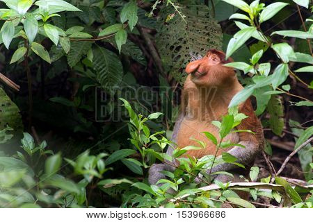 Proboscis monkey sitting on the ground and looking up in the wild Borneo jungle