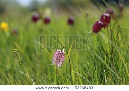 A white and red snake's head (Fritillaria meleagris) with shallow depth of field and more red snake's heads in the background.
