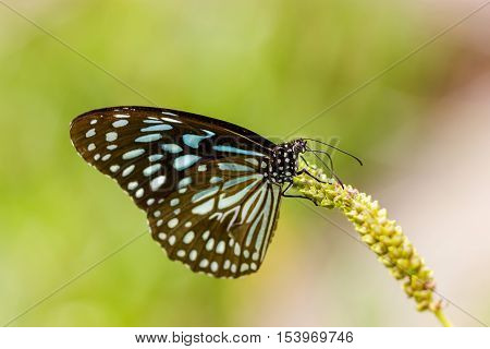 The Blue Tiger is a butterfly found in India, that is, the danaid group of the brush-footed butterfly family. This butterfly shows gregarious migratory behaviour in southern India.