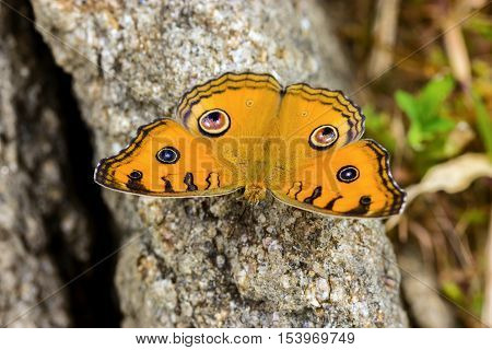 Junonia almanac butterfly is distributed from India and Sri Lanka to the Philippines, and ranges south through the Malay archipelago to Sumatra, Borneo, Sulawesi and Java.