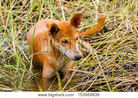 The dhole is a canid native to Central, South and Southeast Asia. Other English names for the species include Asiatic wild dog, Indian wild dog, whistling dog, red wolf, red dog, and mountain wolf.