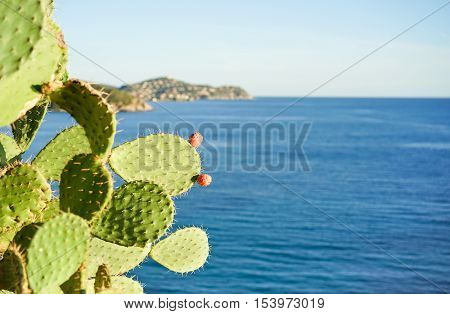 Prickly pear cactus with sardinia's sea view in background - Wild island in middle of mediterranean sea - Landscape and vacation concept for summer holidays - Focus on fruits leave - Soft vivid filter