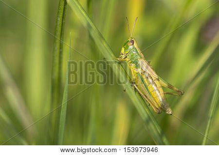 Meadow Grasshopper (Chorthippus parallelus) female resting on a Grass-Stalk