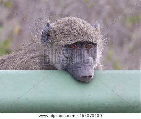 A Chacma Baboon rest his chin on a guard rail to watch the traffic going by.